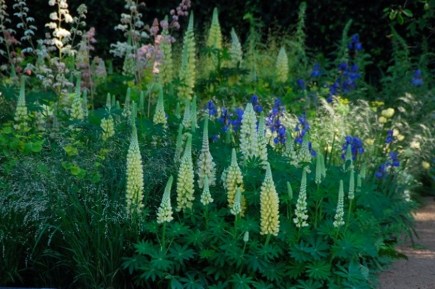 lupins at the chelsea flower show